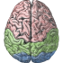 brain, cerebral lobes, wikimedia commons